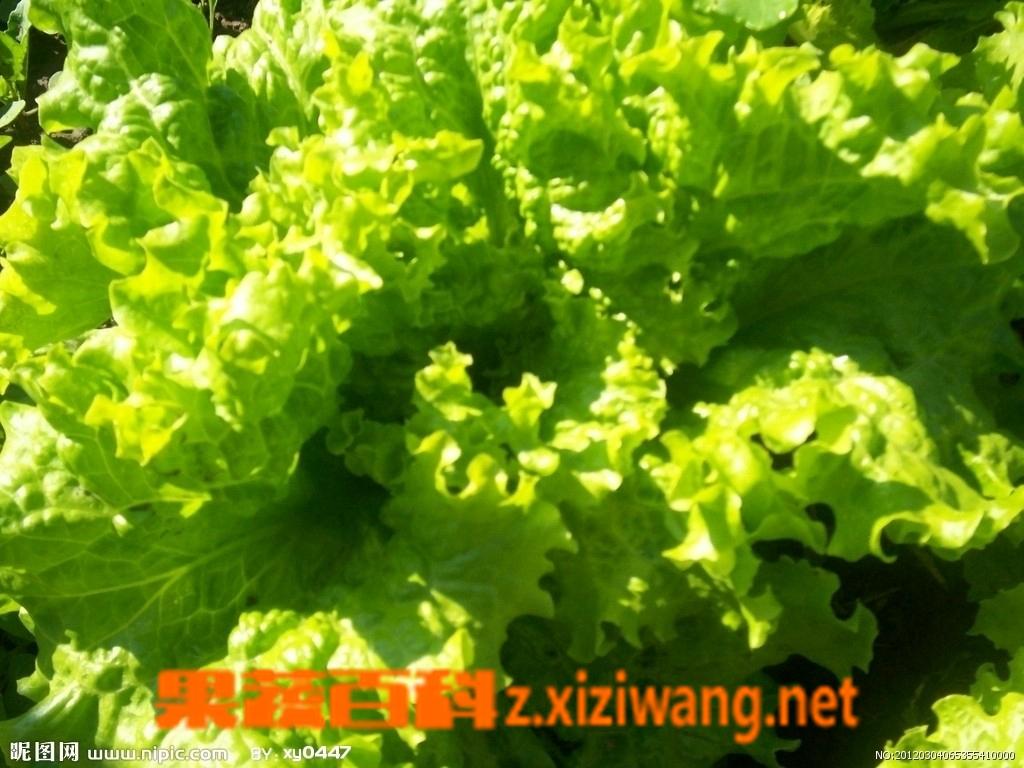 果蔬百科青菜种类及图片