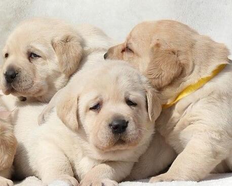 到底怎么训练拉布拉多犬的服从性?训练需注意什么?